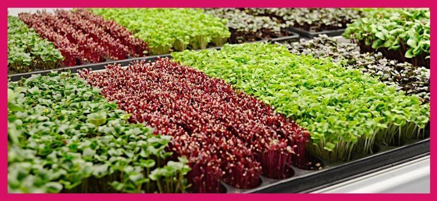 Выращивание микрогрин